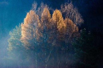 Light plays with trees: A group of trees in the Autumn mist catching the sunlight in a fascinating manner