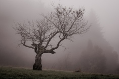 Waiting, just waiting: A view of an old gnarled fruit tree in the autumn mists. Winter will soon come