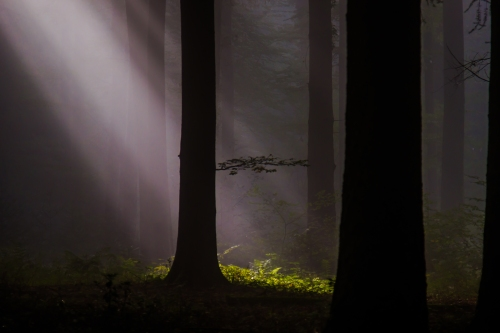 In the spotlight: A view of sunlight falling through mist in a local forest