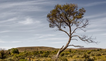 I will survive: A view of a lone tree in the Australian outback. I like its gentle curve that must have formed through adversity.