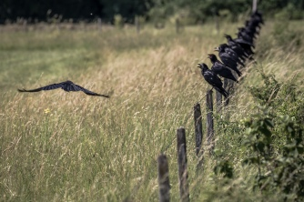Space for one more? Crows sitting on fence posts