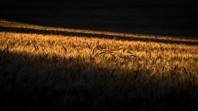 Symbol of summer: A view of a local corn field